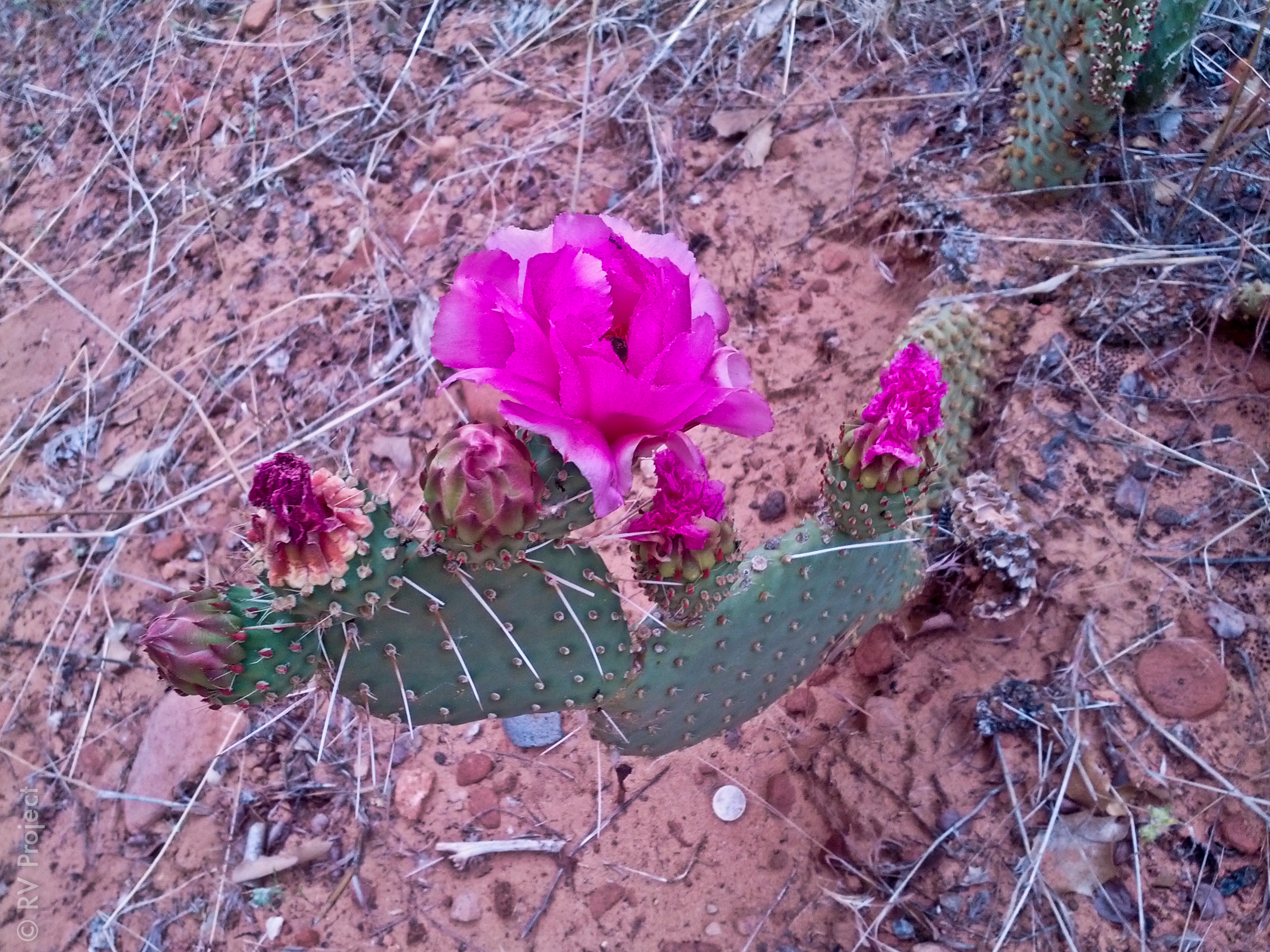 The cacti were blooming on our hike to Angel's Landing at Zion.
