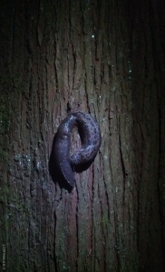 "At first, the two slugs seemed to just be hanging out on a tree, one following the other. Slowly but surely, the spotted slug started turning around towards the unicolored one forming a ""P"" shape."
